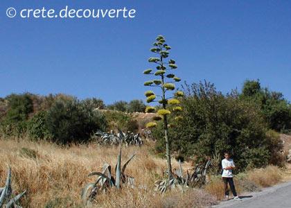 Crete plantes ou arbres introduits - Agave du mexique ...