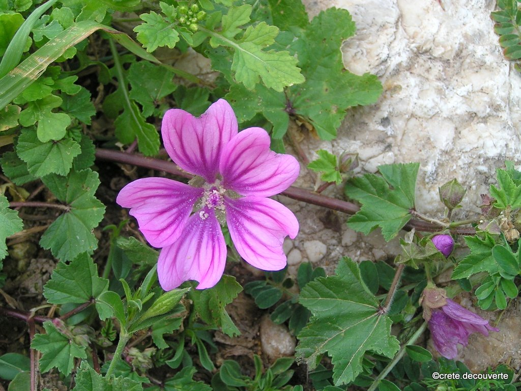 crete flore plantes aromatiques comestibles. Black Bedroom Furniture Sets. Home Design Ideas