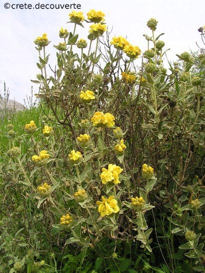 Phlomis fruticosa - Phlomis ligneux