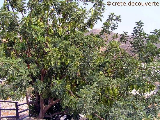 caroubier : Ceratonia siliqua